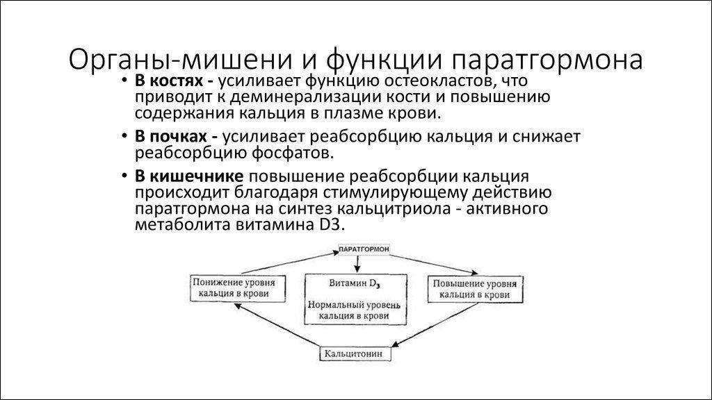 функции паратгормона