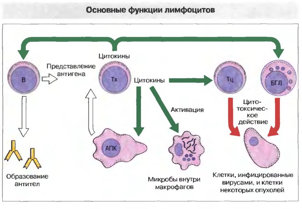 что такое лимфоциты