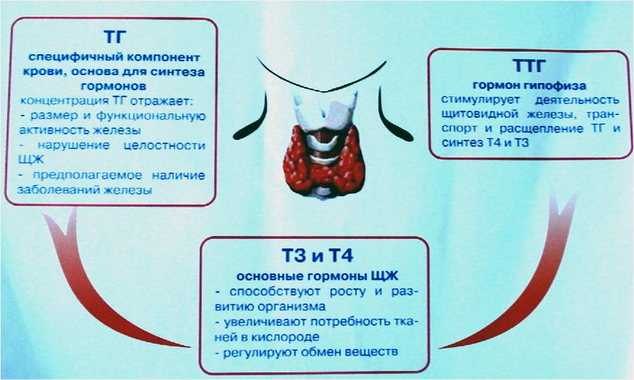 гормоны щитовидки у женщин