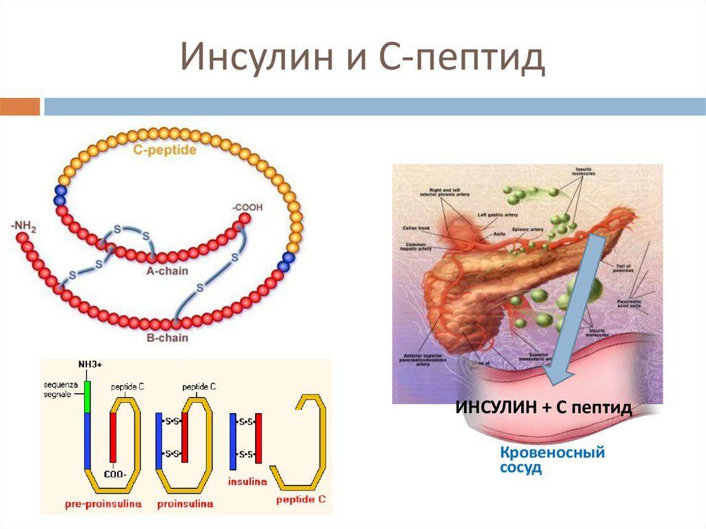 Что такое с-пептиды в анализе крови? О чем говорит уровень цепептида?
