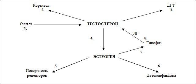 Как вырабатывается тестостерон