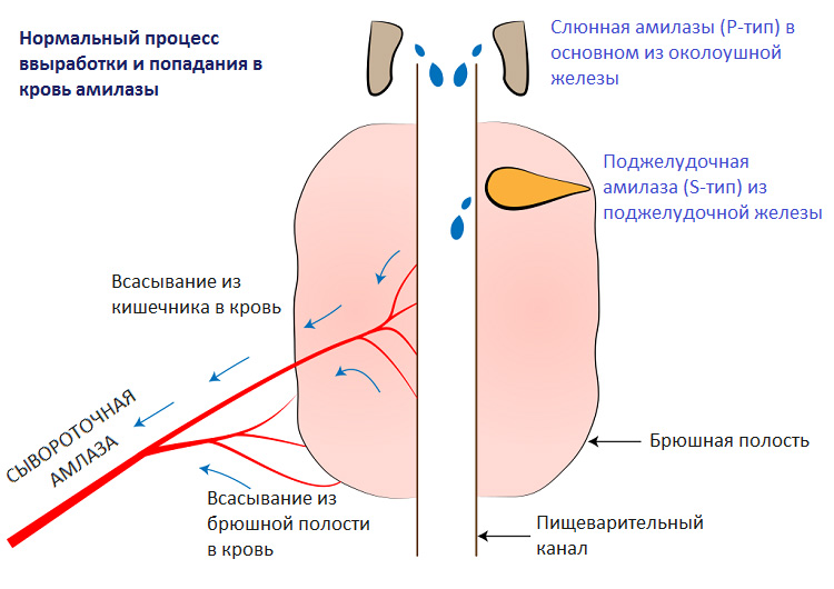 Amylase анализ крови норма