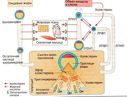 повышены триглицериды
